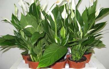 7 комнатных растений, которые эффективно увлажняют воздух