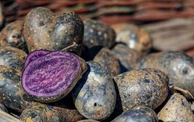 Необычный цвет и целебные свойства: синий картофель снижает давление