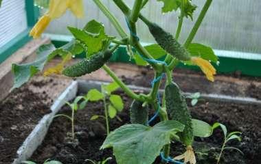Огурцы. Выращивание и уход