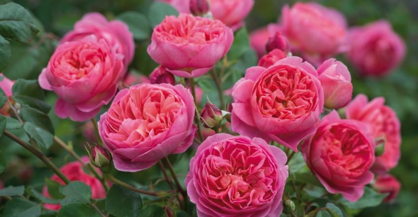 Роза шикарная королева цветов